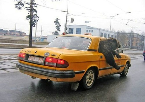Bear in a taxi cab
