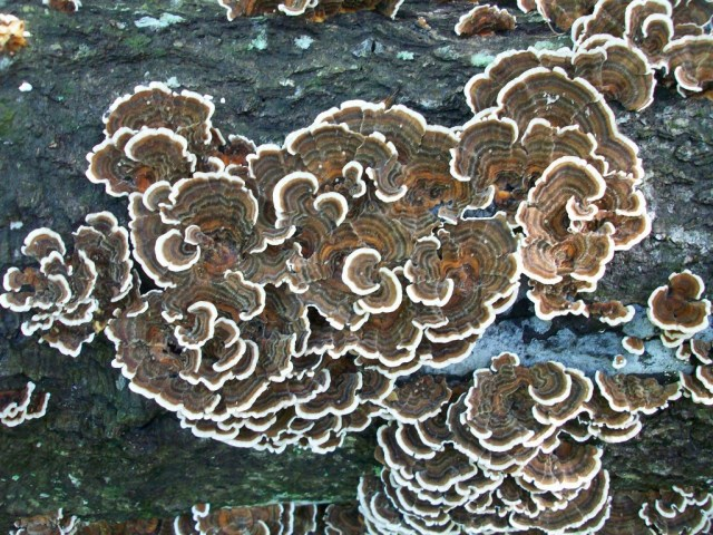 "The ""white rot"" mushroom Trametes versicolor, also known as ""Turkey Tails"""