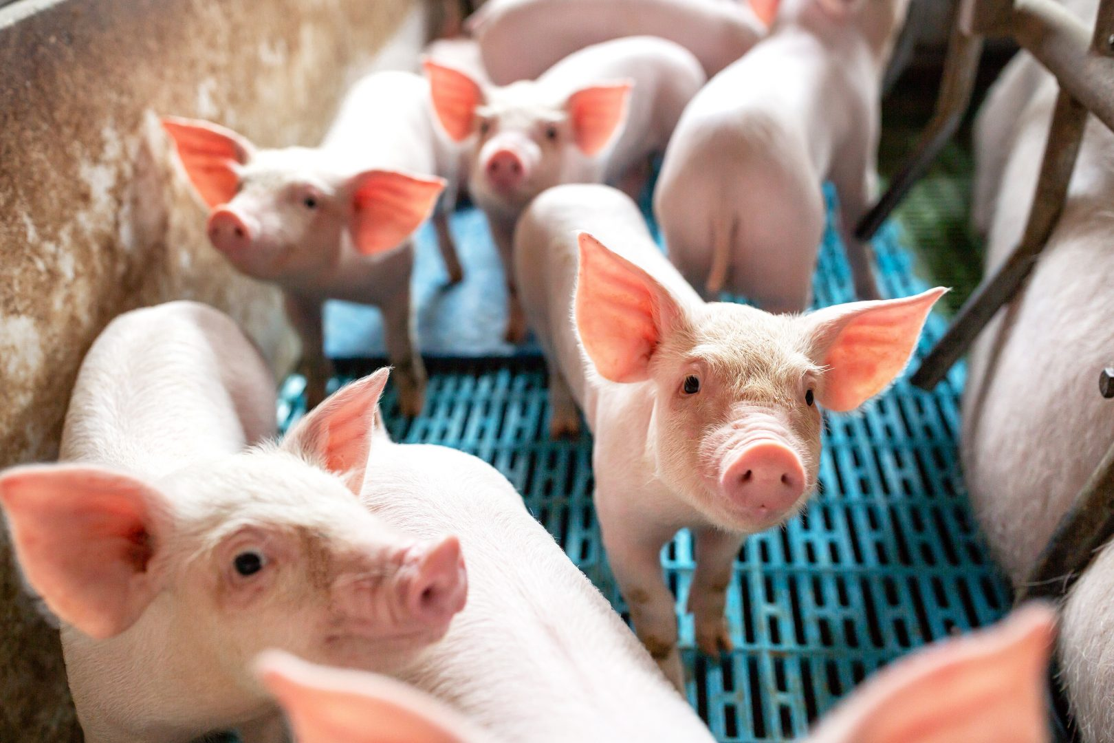 AI could help China's farmers combat swine fever · TechNode