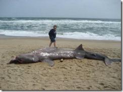 sharkserb