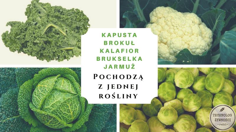Brassica kalafior brokuł kapusta brukselka