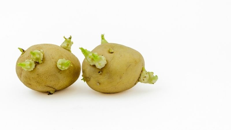 kiełkujące ziemniaki toksyczne zdrowe trujące