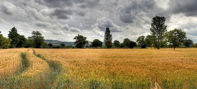 Bath Wheat Field