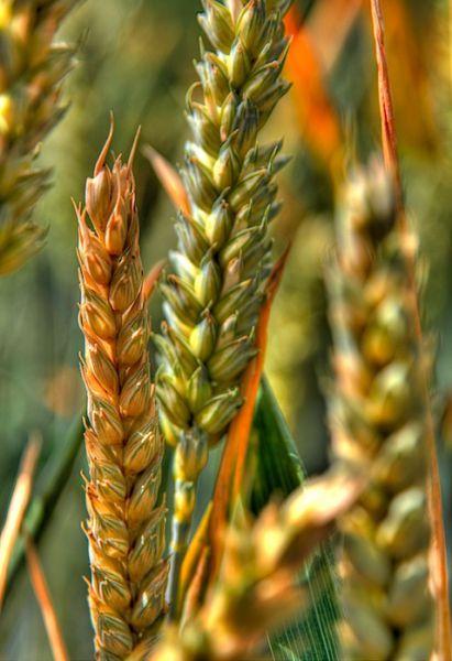 Wheat, HDR