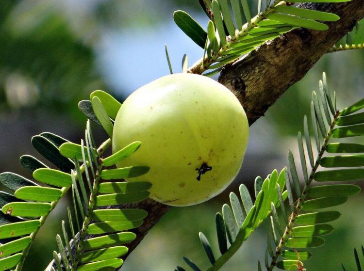 Amla tree image