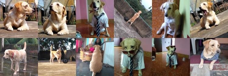 labra-dog