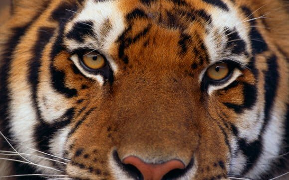 Free Download Tiger Theme for Windows 7 Close up Tiger