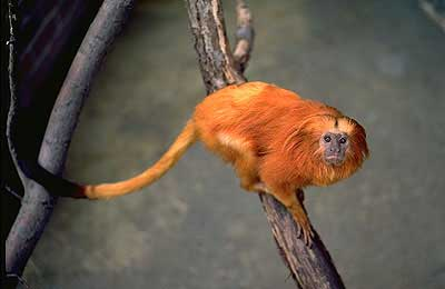 Golden Lion Tamarin photo courtesy of the Smithsonian National Zoo