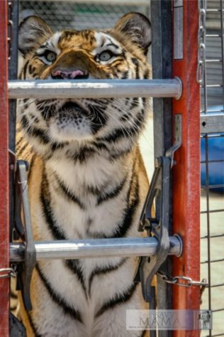 4 Things I Learned When I Ran Away and Joined Ringling Bros.for Out of This World and spent time with Big Cat Trainer, Alexander Lacey, on TechSavvyMama.com