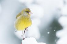Grünfink im Schnee