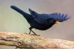 Gartenvögel - Amsel