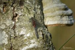 Libelle-Mai1