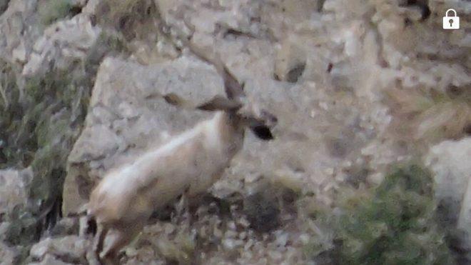 Markhor at Ziarat National Park | Ziarat National Park Wildlife | Ziarat Markhor |Majestic Pakistan 1