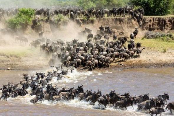 wildebeest migration periscope