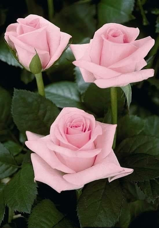 um rosa bebe