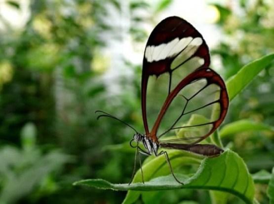 borboleta linda e transparente