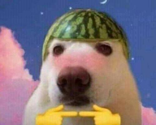 Fotos engraçadas de animais cachorro com melancia na cabeça