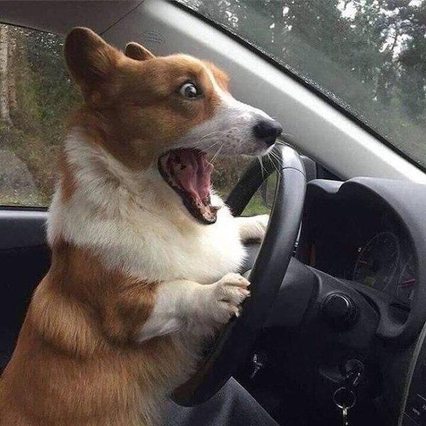 Cachorro engraçado no volante do carrro
