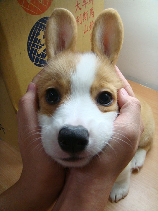 Fotos lindas de cachorro com orelhas em pé