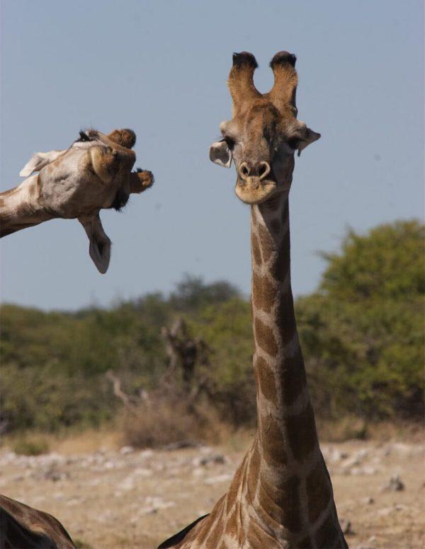 Do nada duas girafas.