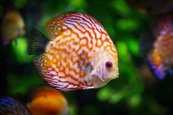 Imagem de peixe discus