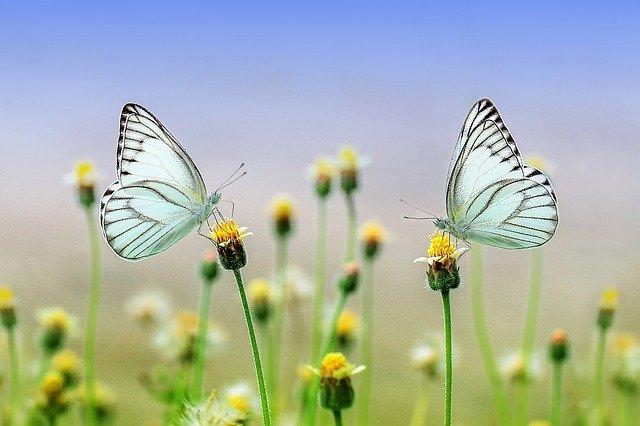 Imagens de borboletas