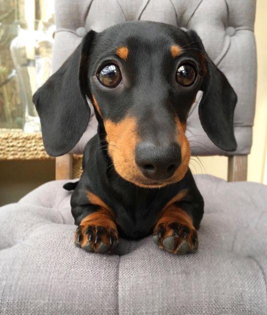 Foto linda do cachorro preto