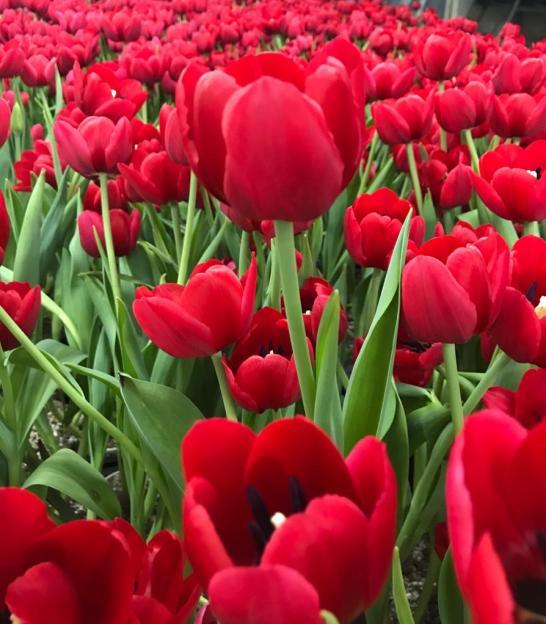 tulipas são vermelhas