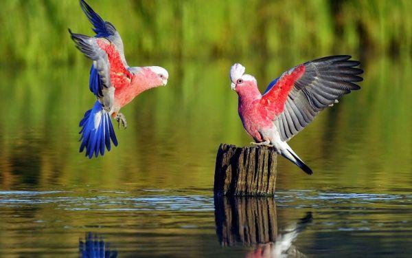 pássaros voando no lago