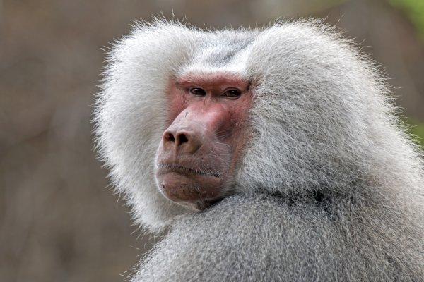 Imagem babuíno bravo.