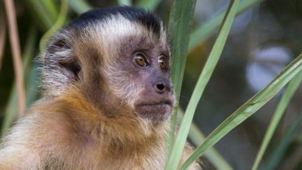 Imagem de macaco atento.