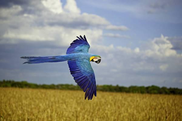 pássaros brasileiro azul