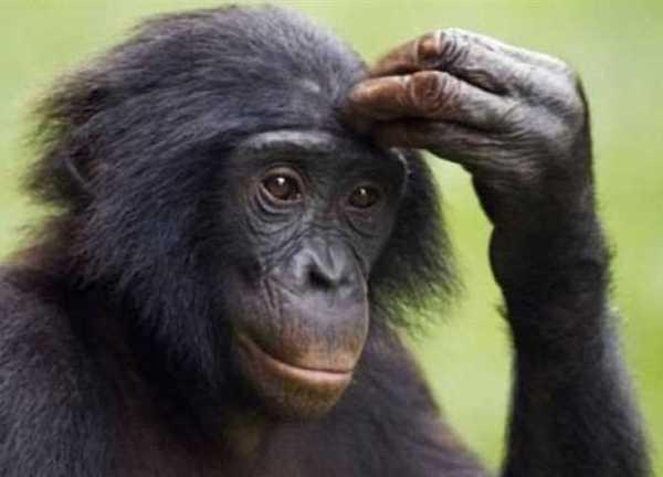 Fotos de macaco pensativo.