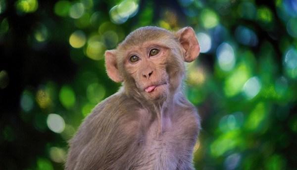 Imagem de macaco engraçado.