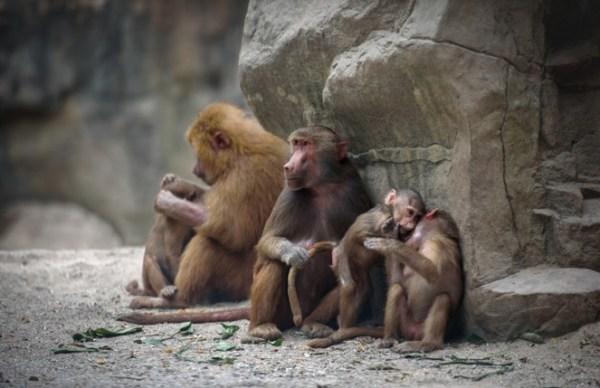imagens de babuínos reunido.