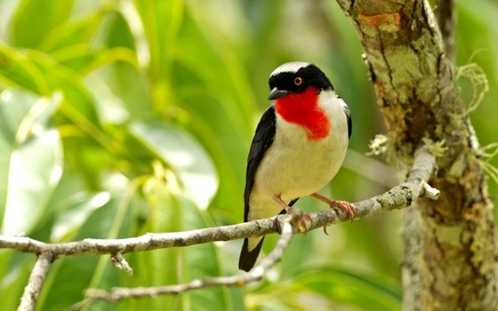 diversidade de pássaros brasileiro