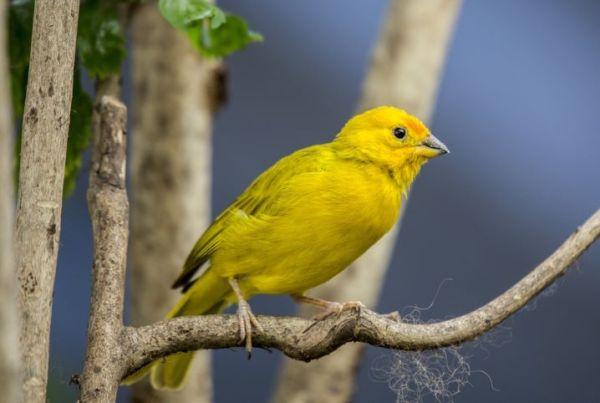 canário pássaros brasileiro