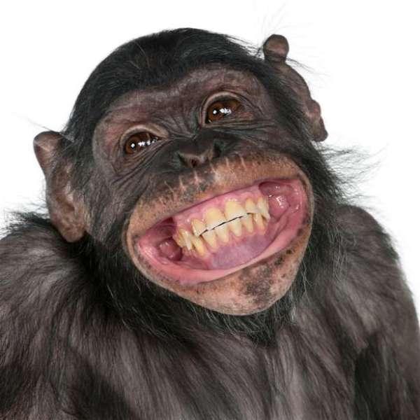 imagem de macaco sorrindo para foto.