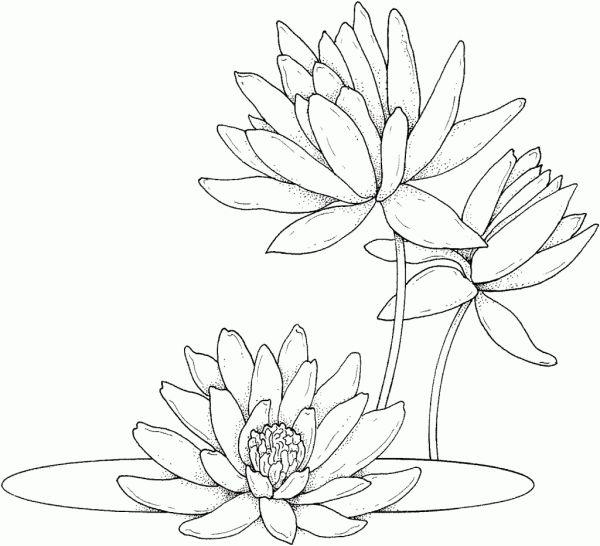 vitoria regia desenho de flores
