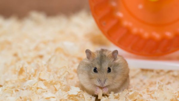 hamsters fofo