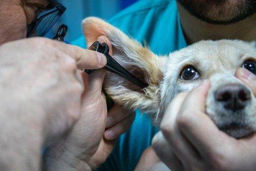 que hace un auxiliar de veterinaria