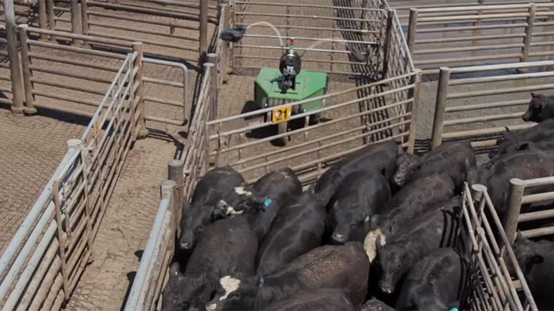 R2DMoo é um robô que ajuda a conduzir o gado e ao mesmo tempo mantêm a segurança dos trabalhadores