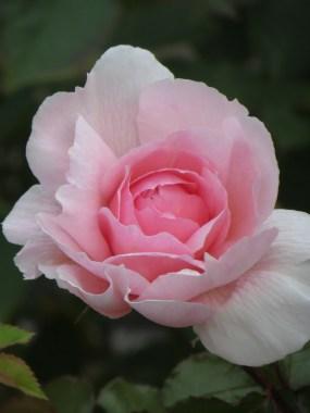 The Wedgwood Rose