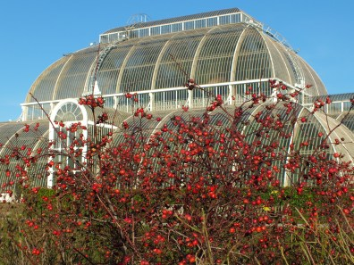 Rosa x hibernica and the Palm House