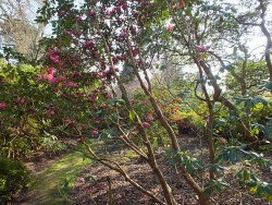 Rhododendron Rosamond looking through to Rocket