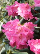 Rhododendrom (Cornubia x Loderi) Rosamond