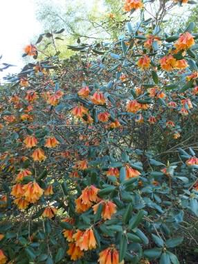 An unusual orange rhododendron