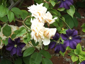 Reve d'Or and clematis Polish Spirit