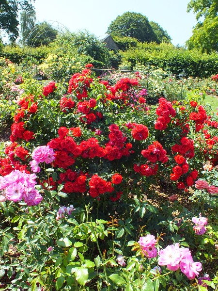 rose garden RHS Wisley – a Rose Garden, a walk in the Woods, another