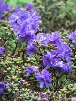 Rhododendrom impeditum